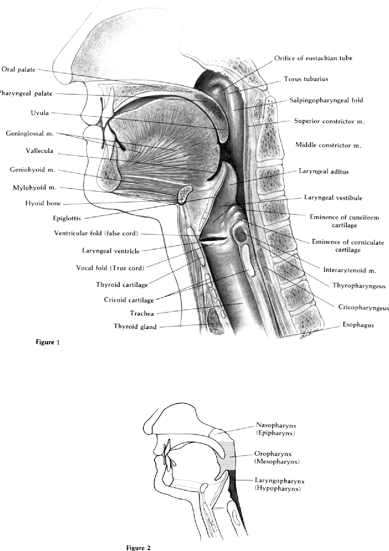 Anatomy of the pharynx, pertinent to swallowing - Semantic Scholar