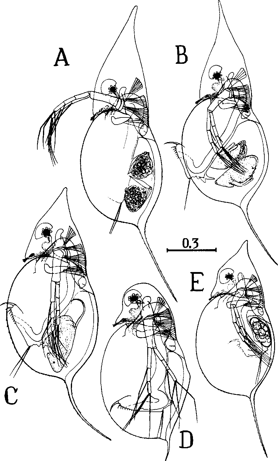 Species composition of Daphnia in Lake Glubokoe with notes on the ...