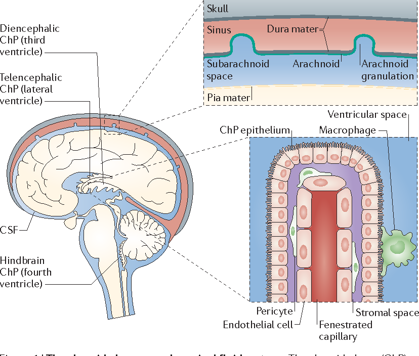 Development and functions of the choroid plexus–cerebrospinal fluid ...