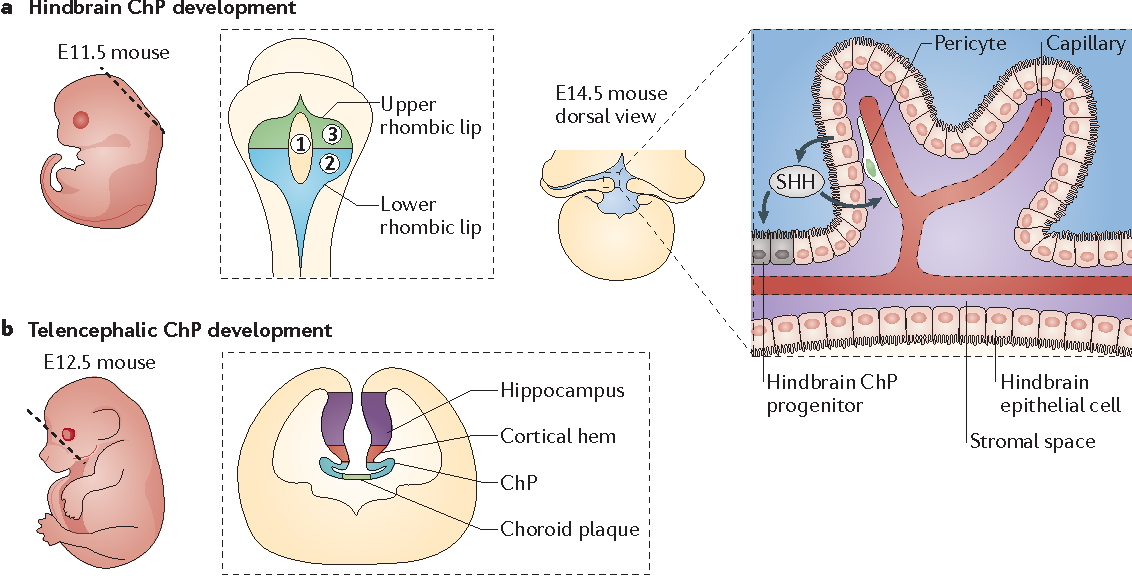 Development And Functions Of The Choroid Plexuscerebrospinal Fluid