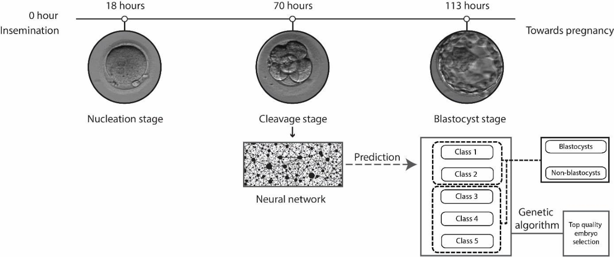Figure 1 for Deep learning mediated single time-point image-based prediction of embryo developmental outcome at the cleavage stage