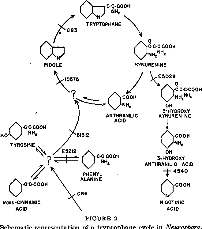Figure 2 From Evidence For A Tr Yptophane Cycle In Ne Urospora