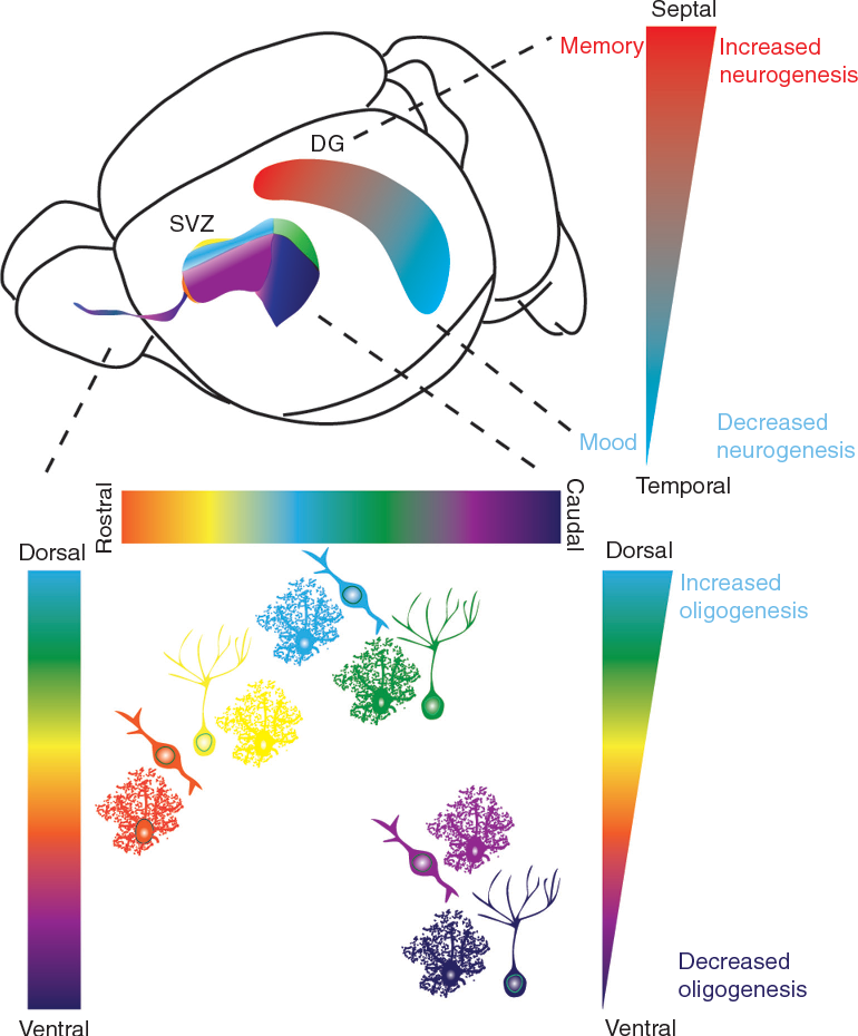 Figure 3 from diversity of neural precursors in the adult mammalian figure 3 regionalization of adult neural genesis in classical neurogenic zones a schematic illustration ccuart Images