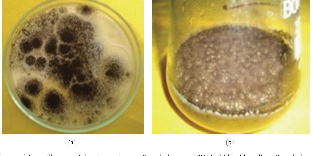 Figure 1: The cultures of Aspergillus niger: (a) solid medium on Czapek dox agar (CDA), (b) liquid medium Czapek dox broth maintained in the laboratory.