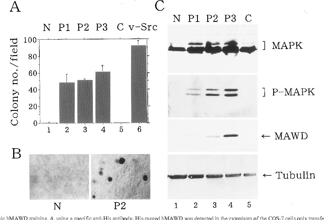 PDF] Molecular cloning and characterization of human MAWD, a