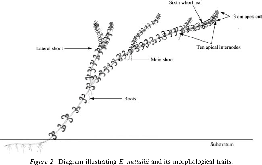 Figure 2 From Response Of Elodea Nuttallii Planch H St John To