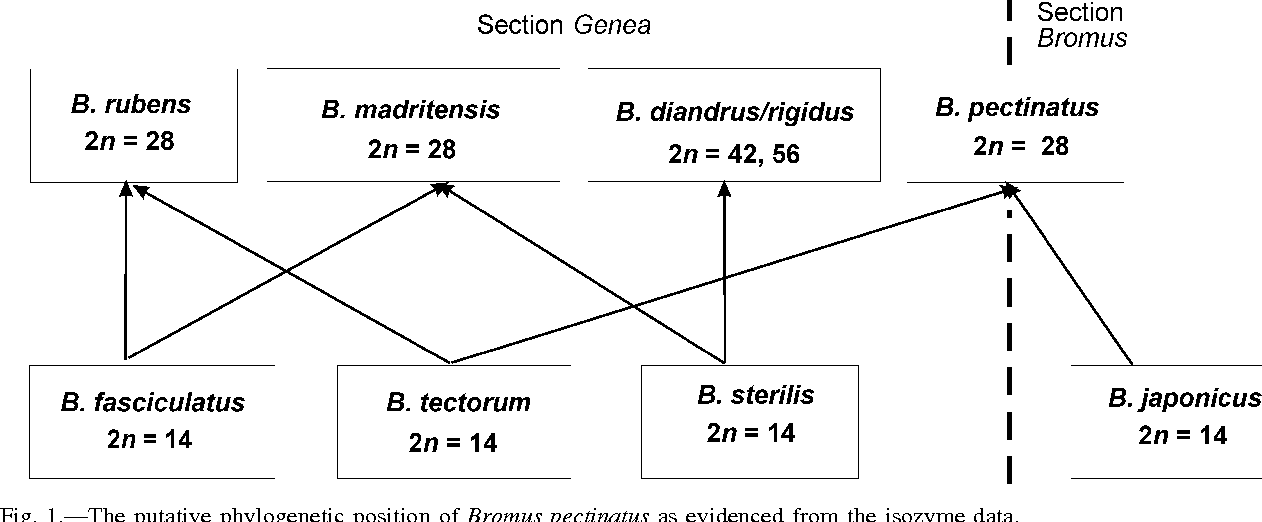 Fig. 1.—The putative phylogenetic position of Bromus pectinatus as evidenced from the isozyme data.