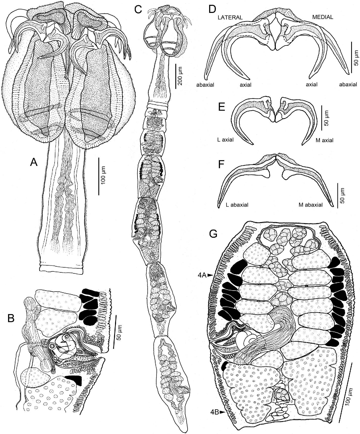 Figure 2 from The dismantling of Calliobothrium (Cestoda ...