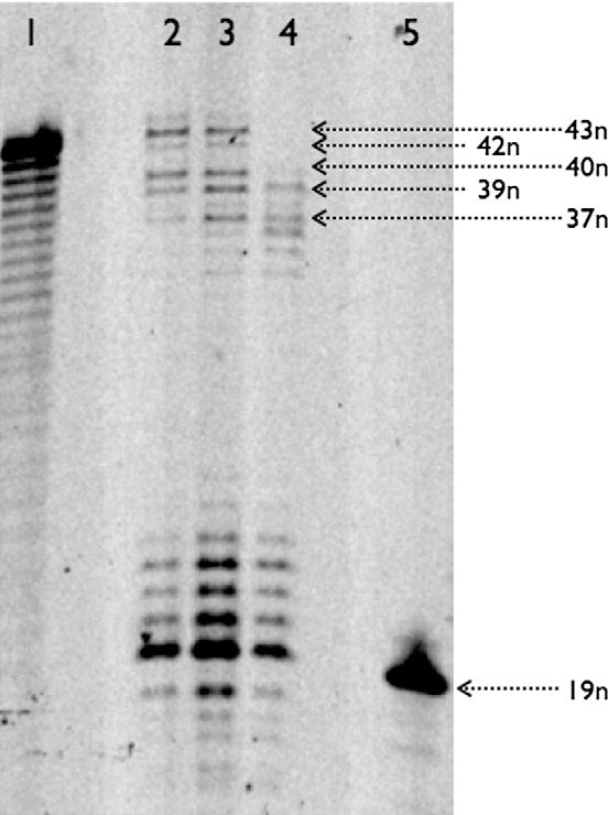 Figure 1 from Enzymatic polymerisation involving 2\'-amino-LNA ...