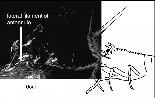 Figure 4 Frame of a video (shot at 250 frames/s) of a mechanical lobster (fabricated from the shed exoskeleton of a Panulirus argus) flicking a fresh lateral filament of a P. argus antennule in a plume of dye (Rhodamine 6G, an analogue for a dissolved odorant) in turbulent water flow in a flume (free-stream velocity = 10 cm/s). Technical details are described by Koehl et al. (2001). The antennule, which was 1 m downstream from the source on the substratum (see Figure 3), was programed to flick using the kinematics measured for P. argus antennules (Goldman and Koehl, 2001). The dye plume was illuminated by a sheet of laser light (280 mm thick); the lighter the pixel, the higher the dye concentration. Water flow is from left to right.