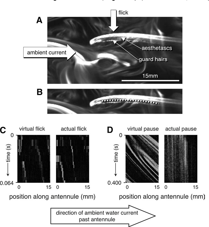 Figure 5 Dye capture by the aesthetasc array on the lateral filament of the antennule of a Panulirus argus. The experimental setup is described in Figure 4, and technical details are described by Koehl et al. (2001). The lighter the pixels, the higher the concentration of the dye, an analogue for dissolved odorant. (A) Frame of a video (250 frames/s) of the antennule during the rapid downstroke part of a flick when water can penetrate into the spaces between the aesthetascs. Filaments of dye can be seen within the hair array. (B) Position of the transect through the aesthetasc array along which dye concentration was sampled for each frame of the video. (C) Dye available to be captured (virtual flick) and dye within the aesthetac array (actual flick) measured during the flick downstroke. The virtual flick shows the dye that would be encountered by the antennule if it did not interfere with the flow during the flick; details of how it is measured are given by Koehl et al. (2001). Time is plotted along the vertical axis, with the start of the downstroke at the top. Position along the antennule is plotted on the horizontal axis and corresponds to the transect shown in (B). The pattern of light and dark along a horizontal strip at the top of each graph shows the concentrations of dye along the antennule in the first video frame, the pattern of light and dark along the next horizontal strip down shows the concentrations of dye along the antennule in the second video frame, and so on. The light stripes (dye filaments intercepted by the antennule) appear as diagonal lines on these plots because they are being carried downstream by the ambient current (left to right) during the course of the flick downstroke. The pattern of dye moving through the aesthetasc array (actual flick) is very similar to the pattern of dye available in the odor plume (virtual flick) during the flick downstroke, when water and dye flow into the spaces between aesthetascs. (D) Dye available to be capt