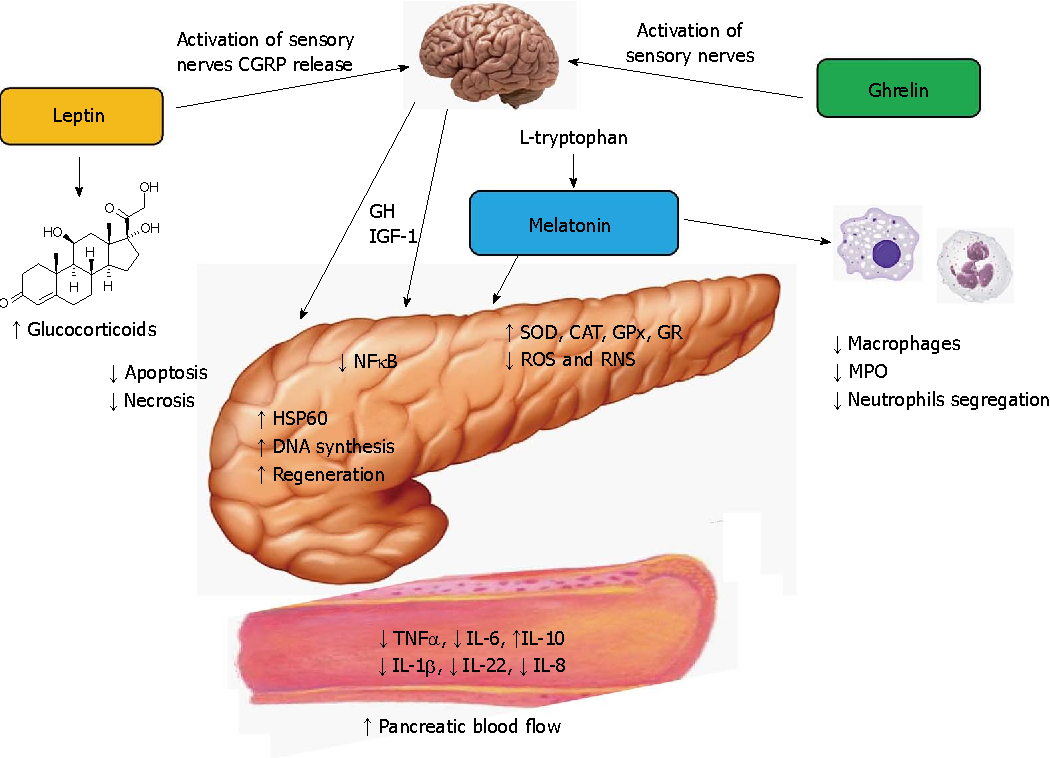 Hormonal protection in acute pancreatitis by ghrelin, leptin and ...