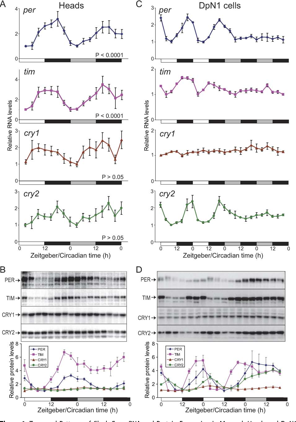 Gene Expression Patterns May Underlie >> Figure 1 From Cryptochromes Define A Novel Circadian Clock Mechanism