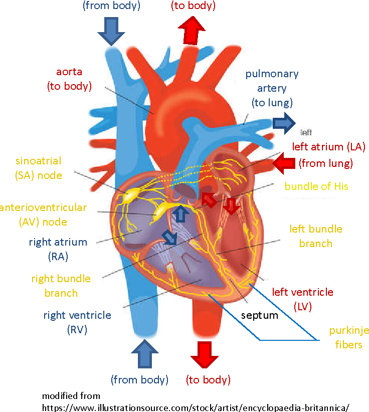 Analysis and Simulation of Multimodal Cardiac Images to Study the ...