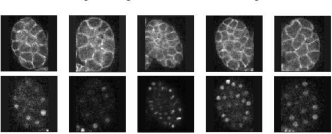 Figure 3 for Geometrically Matched Multi-source Microscopic Image Synthesis Using Bidirectional Adversarial Networks