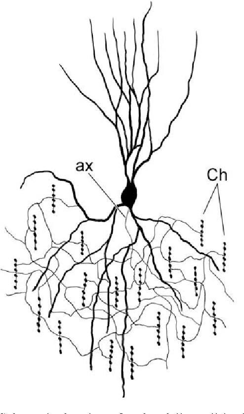 Figure 1 from neocortical inhibitory system cortical interneurons schematic drawing of a chandelier cell in the human neocortex according to aloadofball Choice Image