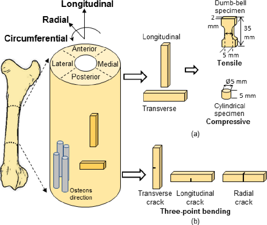 Fracture Processes In Cortical Bone Effect Of Microstructure