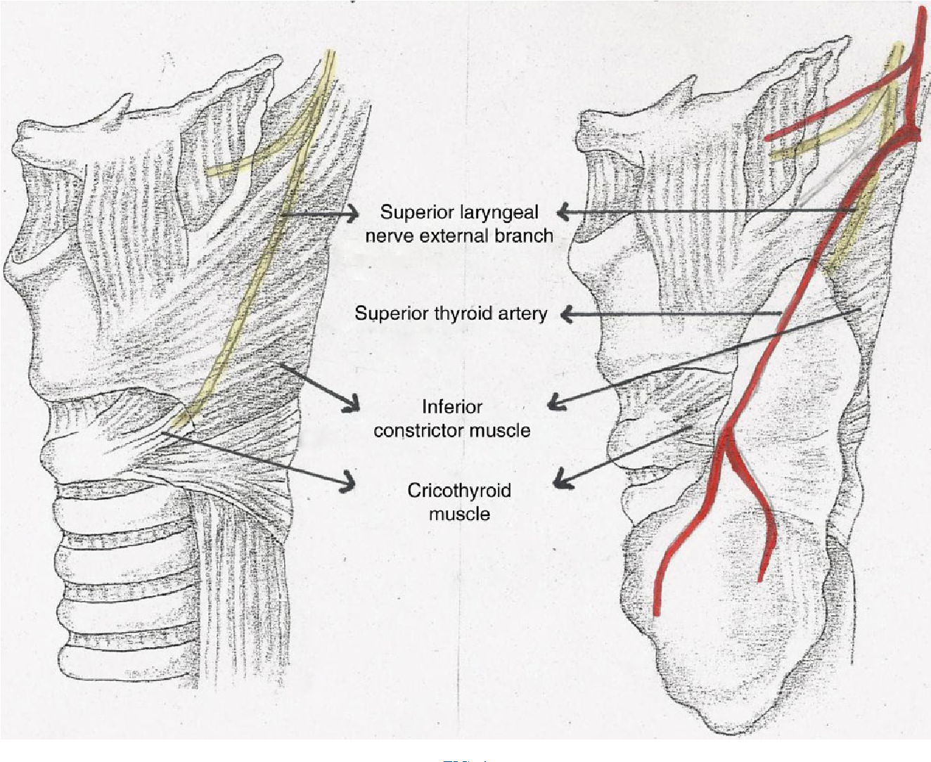 Anatomical Variations Of The External Branch Of The Superior