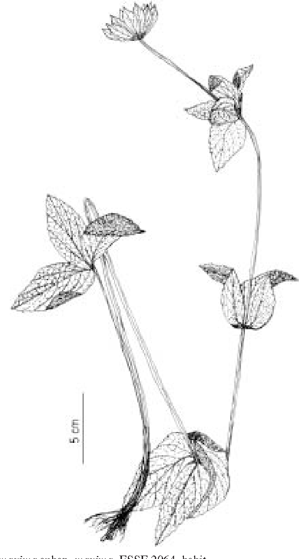 Figure 2 from The genus Astrantia L . in Turkey : morphology and ...