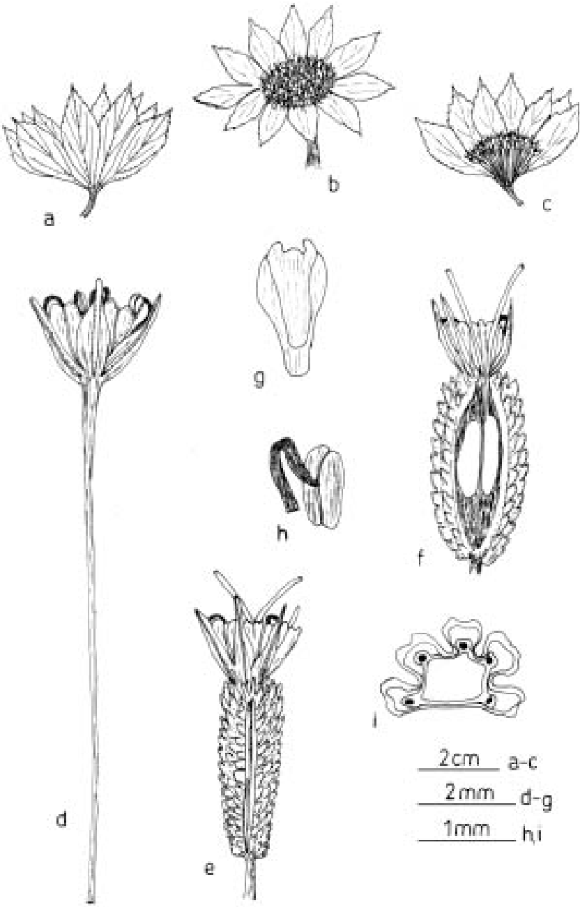 Figure 1 From The Genus Astrantia L In Turkey Morphology And
