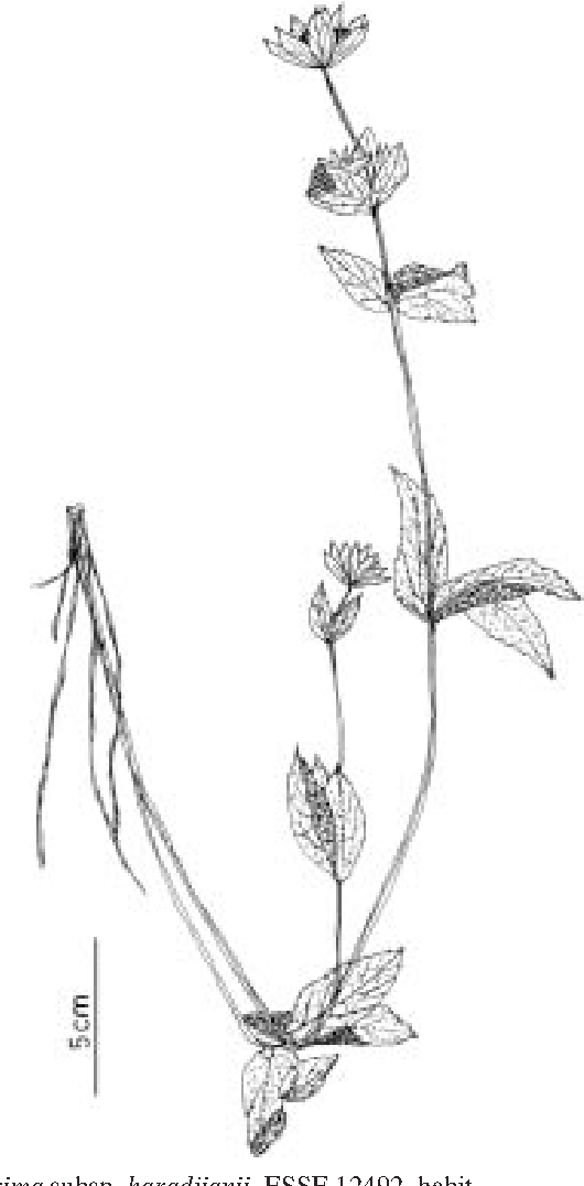 Figure 4 From The Genus Astrantia L In Turkey Morphology And