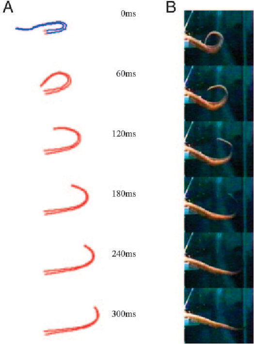 Figure 8 from Dynamic model of the octopus arm  II  Control