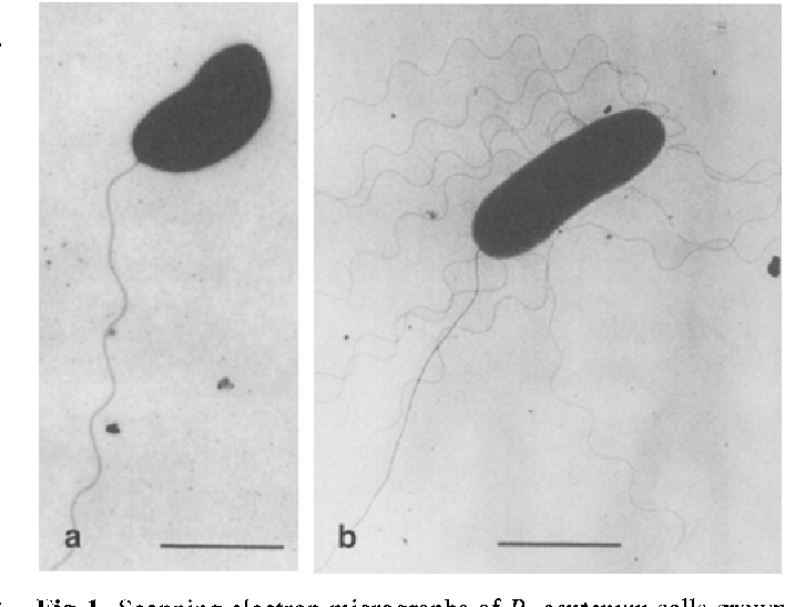 Fig. 1 Scanning electron micrographs of R. centenum cells grown in liquid CENS medium (a) and on a 0.8% agar surface (b). Cells grown on agar were slightly elongated in size and produced numerous lateral flagella, characteristic features of swarm cells (Henrichsen 1972), (bar 1 gm)
