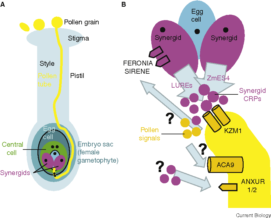 Figure 1. Components involved in higher plant pollination and double fertilization.