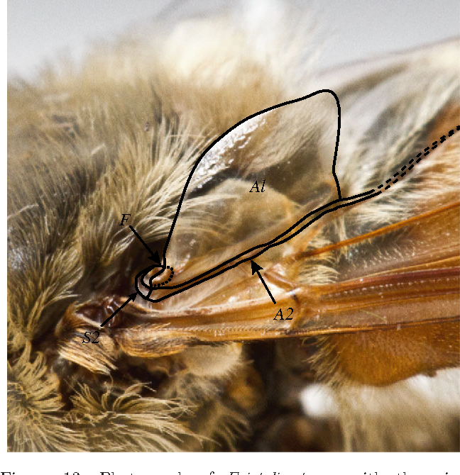Figure 13. Photograph of Eristalis tenax with the wing positioned when the insect is at rest. The alula (Al) is flipped so that it does not impede the retraction of the wing over the thorax and abdomen. S2, sclerotized extension from third axillary sclerite;A2, second anal vein; F, flexible section of cuticle that forms socket with raised protrusion of the alula (dotted line).