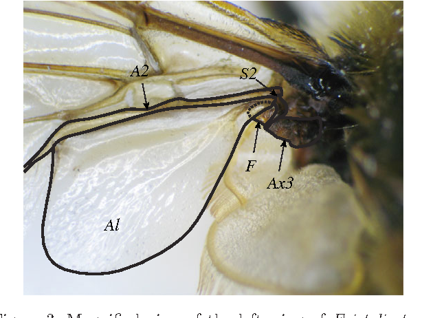 Figure 3. Magnified view of the left wing of Eristalis tenax, showing the attachment of the alula (Al) to the rest of the wing. The third axillary sclerite (Ax3) is fused to a sclerotized region (S2) of the second anal vein (A2). A flexible section of cuticle (F) protrudes from this fused joint, and forms a socket for a raised protrusion of the alula (dotted line) created by folding of the cuticle. Manipulation of the S2–Ax3 complex causes the flexible section of cuticle to rotate, and the alula to flip.