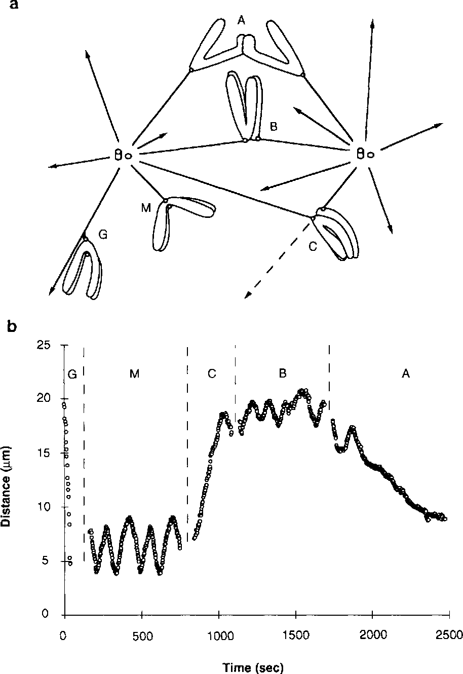 directional instability of kinetochore motility during chromosome Fiberglass Pull Rods directional instability of kinetochore motility during chromosome congression and segregation in mitotic newt lung cells a push pull mechanism semantic
