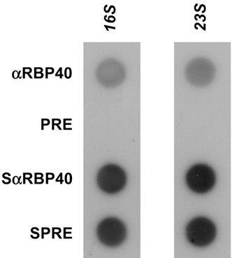 Figure 6. Association of RBP40 with Ribosomes.