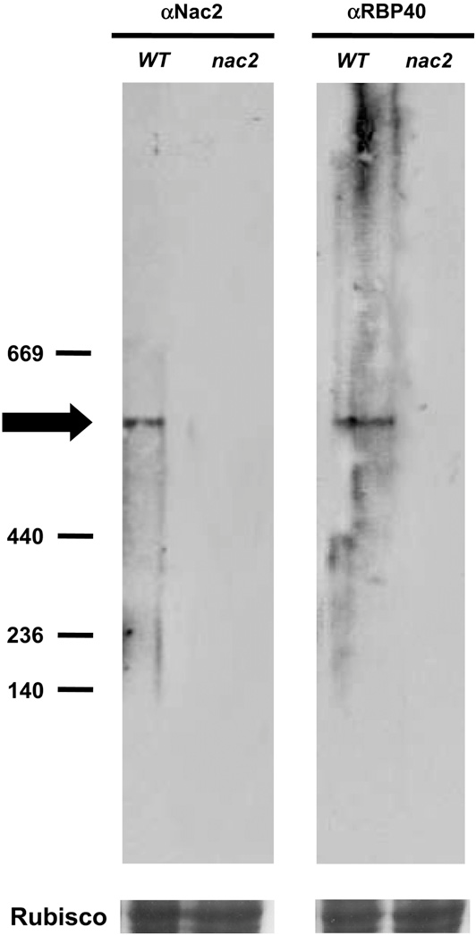 Figure 7. Native PAGE of RBP40 and Nac2.