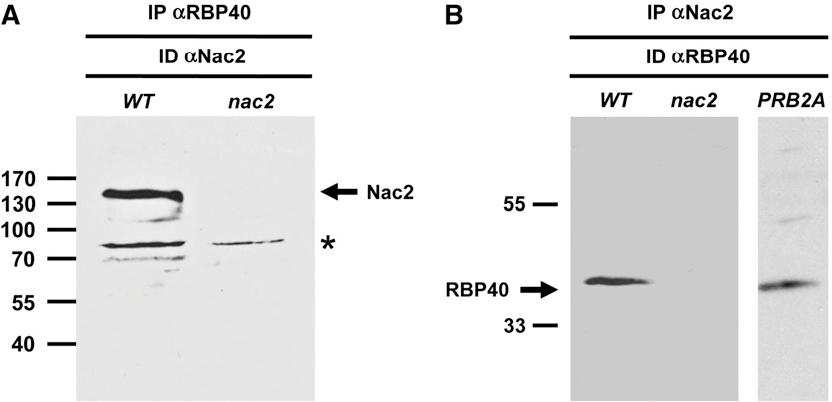 Figure 8. Coimmunoprecipitation of RBP40 and Nac2.