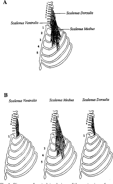 Scalene muscle - Semantic Scholar