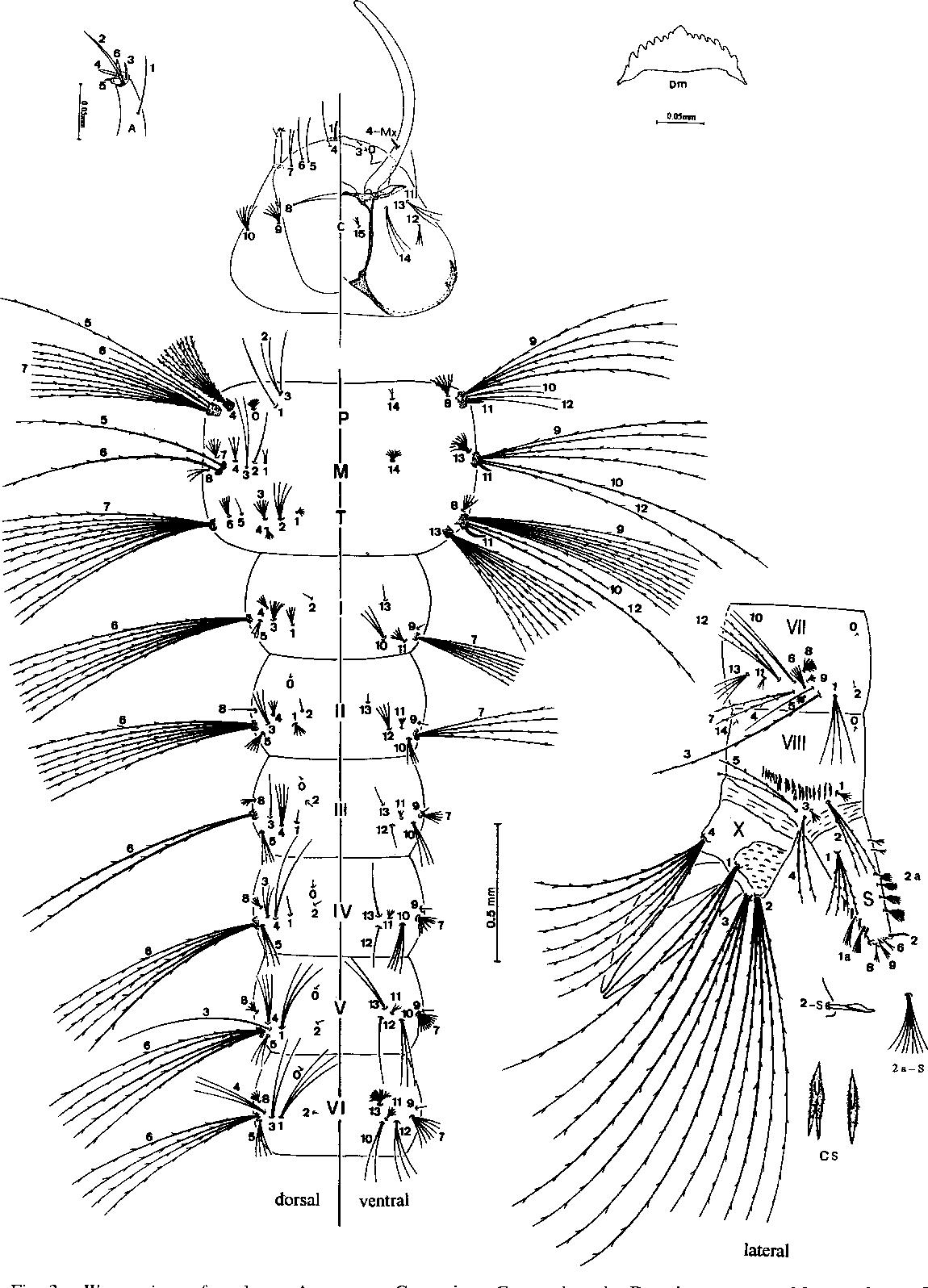 Figure 3 from WYEOMYZA ( PROSOPOLEPZS ) CONFUSA ( LUTZ