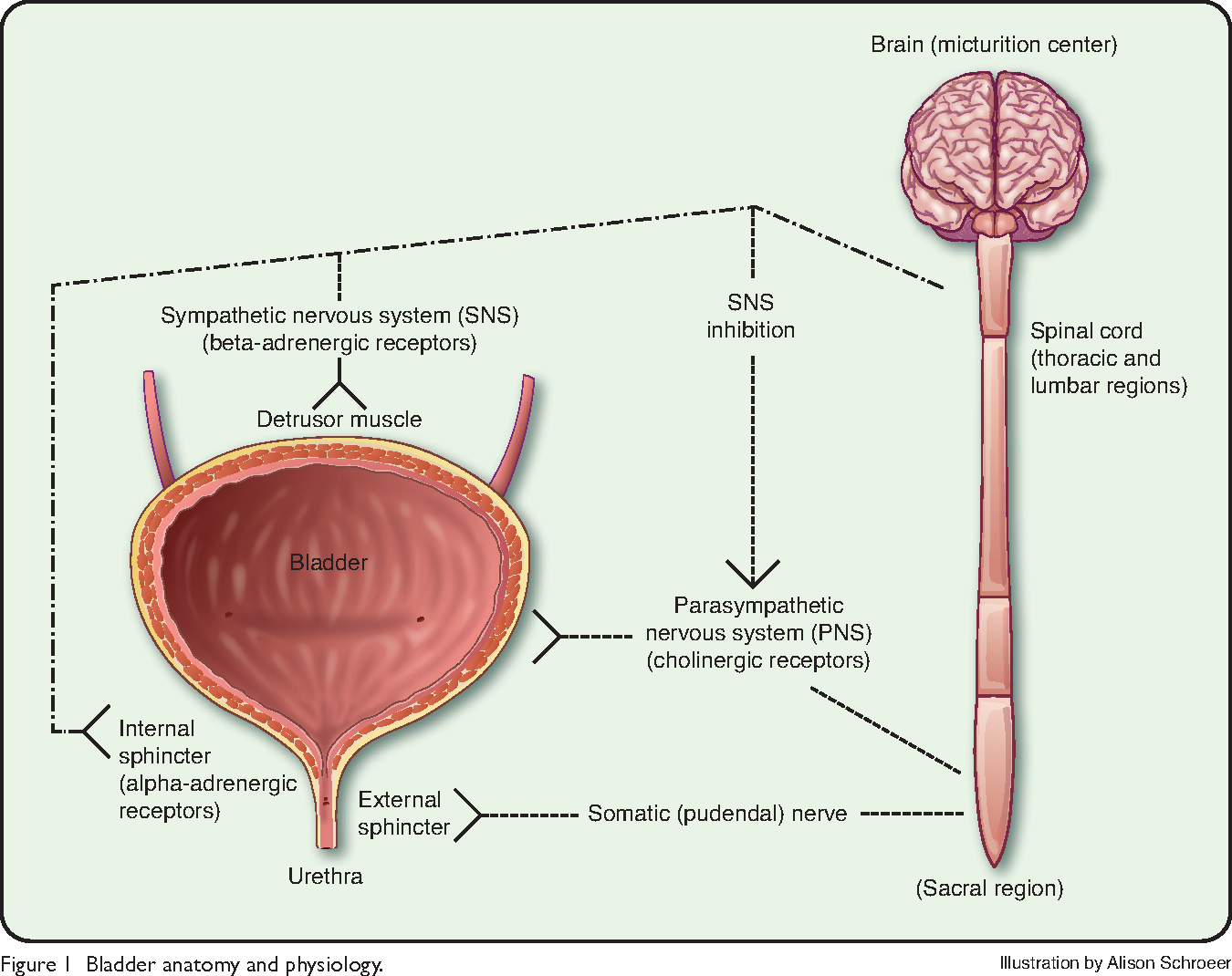 Figure 1 from Management of urinary incontinence. - Semantic Scholar