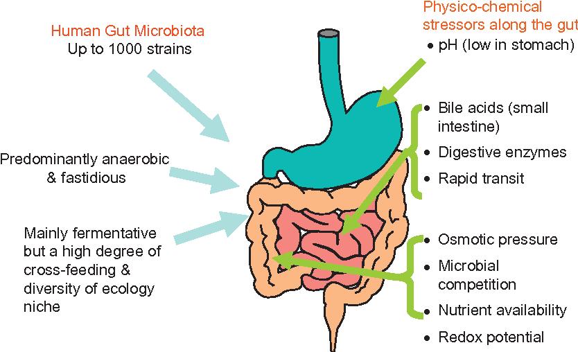 The Microbiota Of The Human Gastrointestinal Tract A Molecular