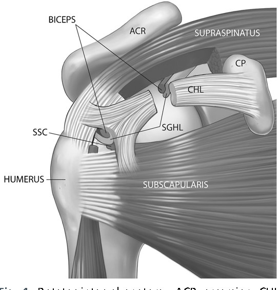 The Rotator Interval And Long Head Biceps Tendon Anatomy Function