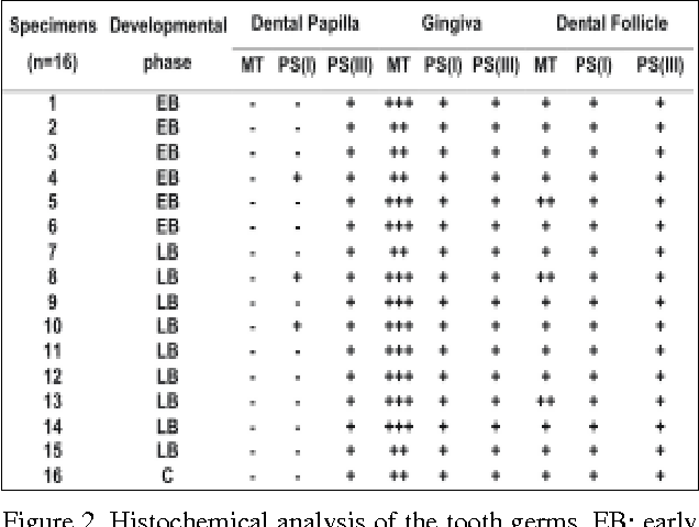 Figure 2. Histochemical analysis of the tooth germs. EB: early bell stage; LB: late bell stage; C: cap stage; MT: Masson's Trichrome; PS(I): type I collagen by Picrosirius staining technique; PS(III): type III collagen by Picrosirius staining technique; (-) absent; (+) scarce; (++) present; (+++) abundant.