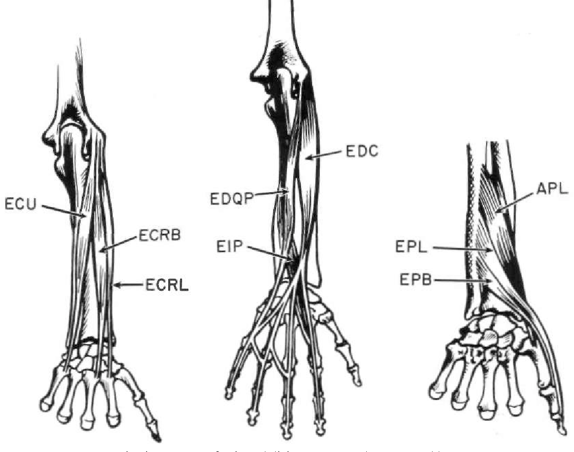 The Anatomy And Mechanics Of The Human Hand Semantic Scholar