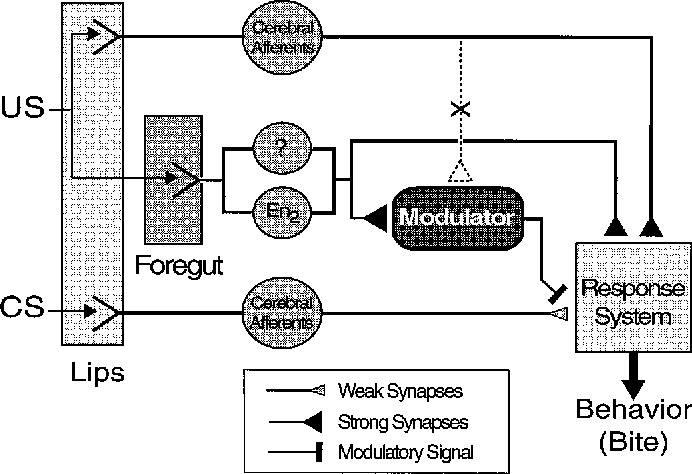 Figure 8 From Classical Conditioning Of Feeding In Aplysia I