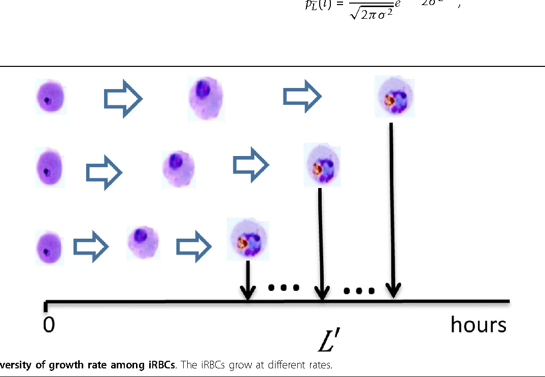 Figure 2 Diversity of growth rate among iRBCs. The iRBCs grow at different rates.
