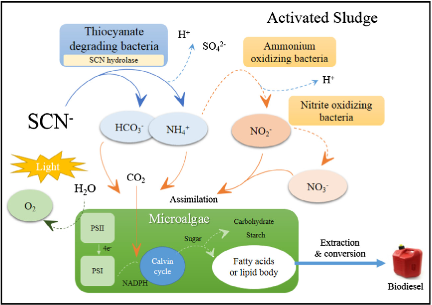 schematic diagram of proposed strategy for degrading toxic thiocyanate and  producing microalgal