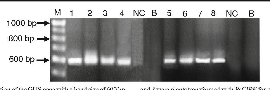 Figure 6 PCR amplification of the GUS genewith a band size of 600 bp. Lanes 1, 2, 3, and 4, PsCBL-regenerated plants from cultivars 'BR 11', 'BRRI dhan 49', 'Chinigura', and 'Paijam', respectively; lanes 5, 6, 7, and 8were plants transformed with PsCIPK for cultivars 'BR 11', 'BRRI dhan 49', 'Chinigura', and 'Paijam', respectively. M marker DNA (100- bp ladder DNA), NC negative control, B blank.