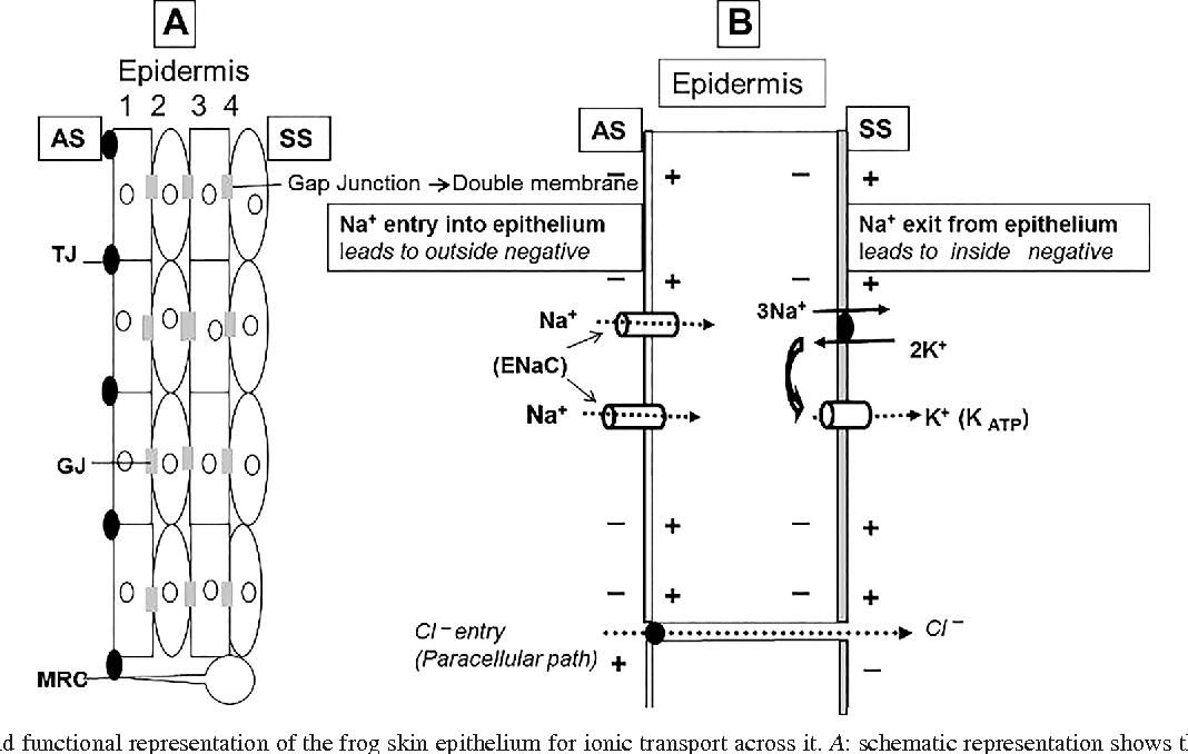 Figure 1 From Illuminations Transepithelial Sodium Transport Across