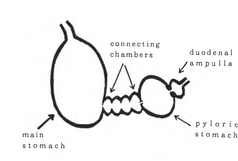 Figure 1 from The Systematic Importance of Stomach Anatomy in Beaked ...