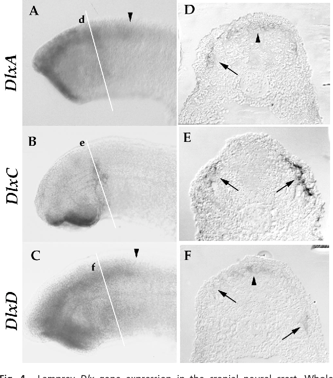 Figure 4 From Lamprey Dlx Genes And Early Vertebrate Evolution