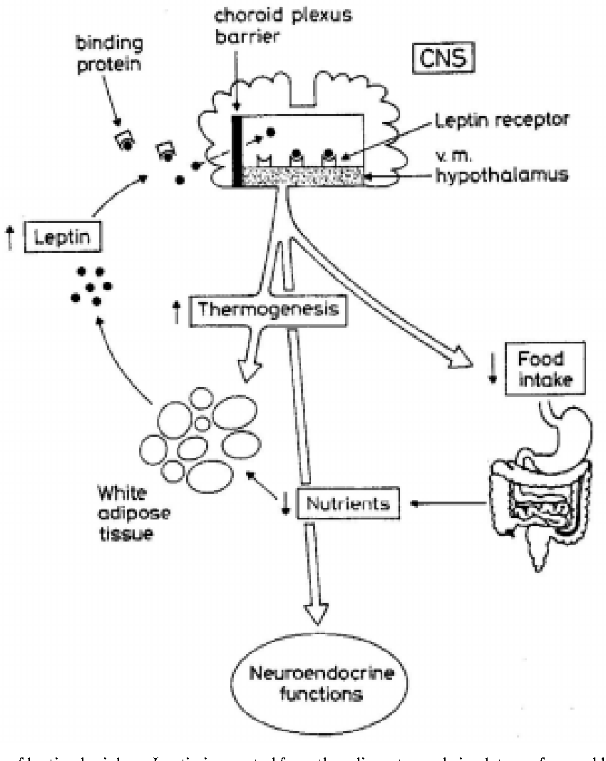 figure 1 from leptin nutrition and reproduction new insights TreeMap Example figure 1 general scheme of leptin physiology leptin is secreted from the adipocytes and