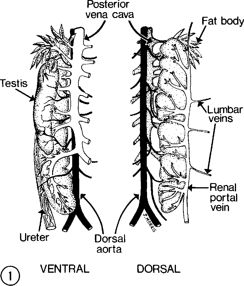 Figure 1 From Renal Vascular Anatomy Of The Toad Bufo Marinus